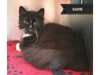 SADIE IS A SMALL SWEET TUX CAT ...