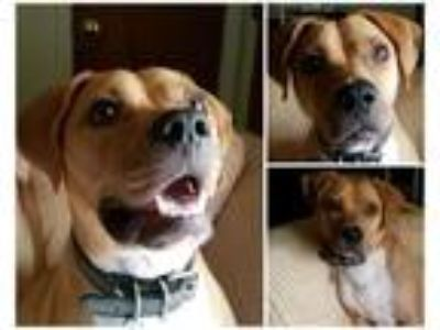 Adopt Scout a Boxer, Pit Bull Terrier