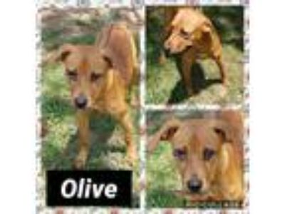 Adopt Olive a Brown/Chocolate Labrador Retriever / Mixed Breed (Medium) / Mixed