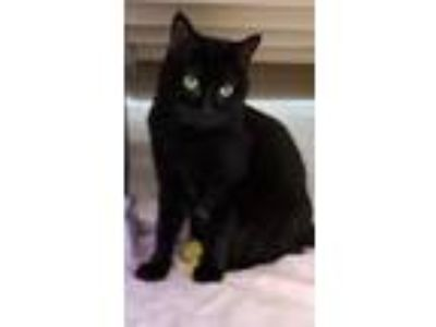 Adopt Kenya a All Black Domestic Shorthair / Domestic Shorthair / Mixed cat in