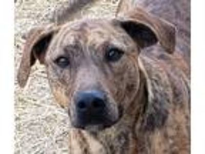 Adopt Tuesday a Brindle Catahoula Leopard Dog / Mixed dog in Arenas Valley
