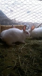 Young rabbits californians