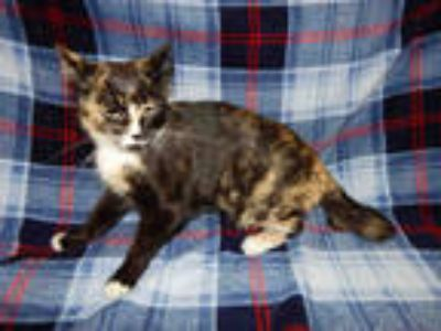 Adopt CLEO a Calico or Dilute Calico Domestic Shorthair / Mixed (short coat) cat