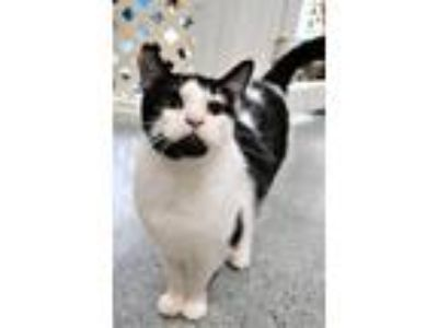 Adopt Zahra a Black & White or Tuxedo Domestic Shorthair (short coat) cat in