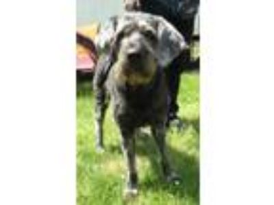 Adopt Grayson a Black Poodle (Standard) / Schnauzer (Standard) / Mixed dog in