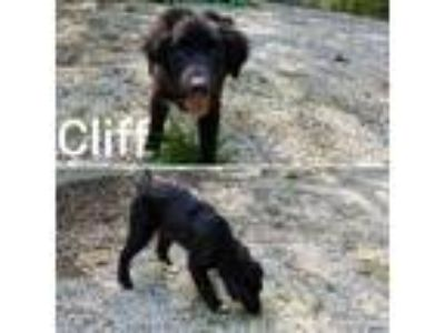 Adopt Cliff a Labrador Retriever / Newfoundland / Mixed dog in Madison