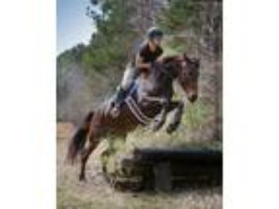 DressageJumperEventer Andalusian Thoroughbred