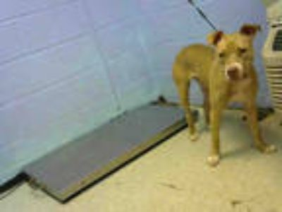 Adopt LINDA a Brown/Chocolate - with White American Pit Bull Terrier / Mixed dog