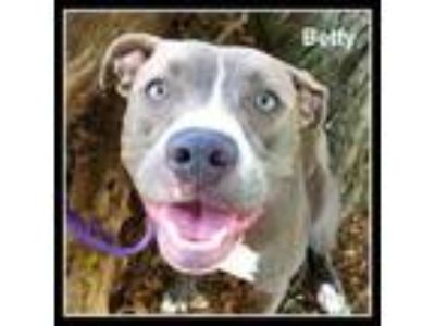 Adopt Betty a Gray/Silver/Salt & Pepper - with Black American Pit Bull Terrier
