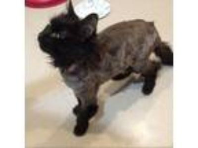 Adopt LoveBug a All Black Domestic Longhair (long coat) cat in Oyster Bay