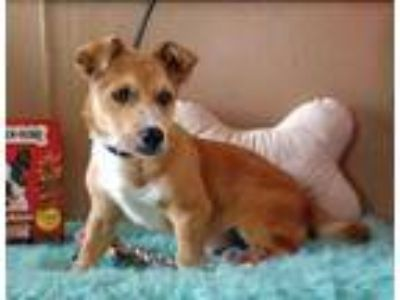 Adopt Woody a Tan/Yellow/Fawn Corgi / Mixed dog in Wichita Falls, TX (25321322)