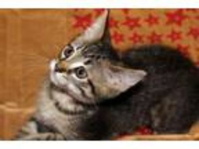 Adopt PRINGLES a Domestic Short Hair