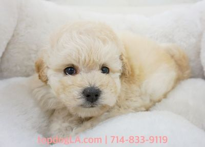Maltipoo Puppy - Male - Johnathan ($1,250)