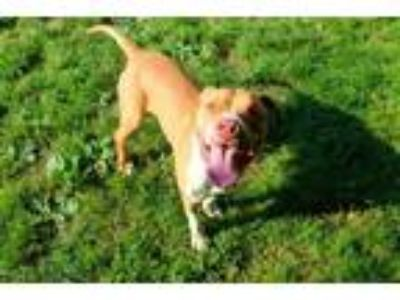 Adopt COLTON a Pit Bull Terrier, Mixed Breed