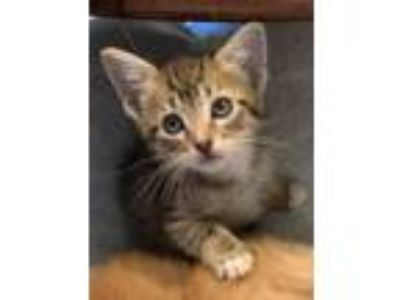 Adopt Feta a Brown Tabby Domestic Shorthair / Mixed (short coat) cat in