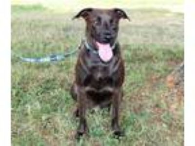 Adopt DARBY a Brown/Chocolate - with Black Labrador Retriever / Mixed dog in