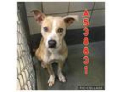 Adopt HAYS a Tan/Yellow/Fawn - with White American Staffordshire Terrier / Mixed