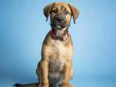 Adopt a Brown/Chocolate - with Black German Shepherd Dog / Akita / Mixed dog in
