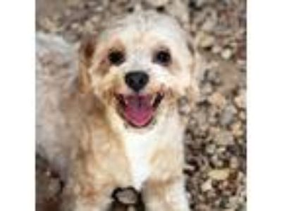 Adopt Prince a White Shih Tzu / Lhasa Apso / Mixed dog in Waco, TX (25534484)