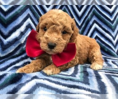 Poodle (Miniature) PUPPY FOR SALE ADN-130649 - Alfred the Miniature Poodle