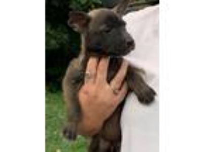 Adopt Cali s pups coming 7-20 a Shar Pei / Anatolian Shepherd / Mixed dog in