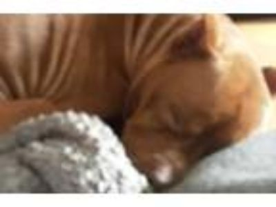 Adopt Rocky a Brown/Chocolate American Pit Bull Terrier / Mixed dog in