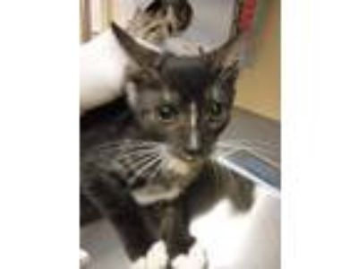 Adopt Starla a All Black Domestic Shorthair / Domestic Shorthair / Mixed cat in