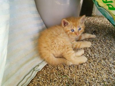 Kittens for sale (Siamese mix Mom)