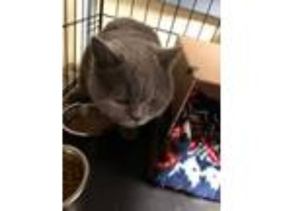 Adopt Chanel a Domestic Short Hair, British Shorthair
