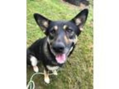 Adopt Mazzie a German Shepherd Dog