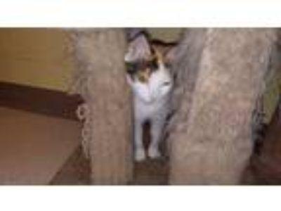 Adopt Cutie Pie a Calico or Dilute Calico Calico (short coat) cat in