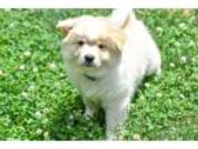 Adopt PUPPY BILL a Tan/Yellow/Fawn Chow Chow / Spitz (Unknown Type