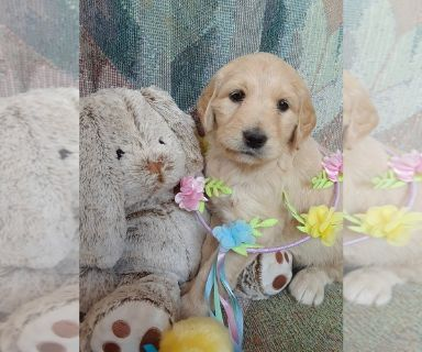 Goldendoodle PUPPY FOR SALE ADN-127321 - Goldendoodle F1