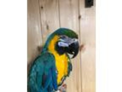 Adopt Izzie a Macaw bird in Woodbridge, NJ (25351315)