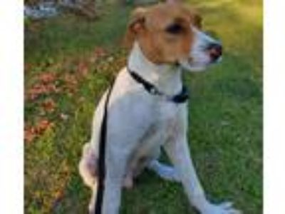 Adopt Isaac a White - with Brown or Chocolate Labrador Retriever / Mixed Breed