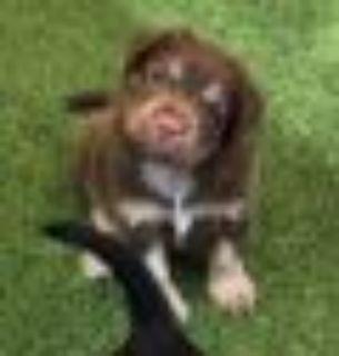 Chewy German Shepherd Dog - Rat Terrier Dog