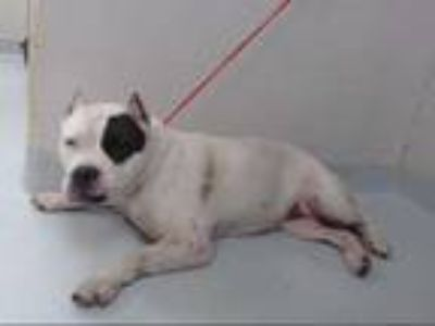 Adopt a White American Pit Bull Terrier / Mixed dog in Pasadena, TX (25296606)