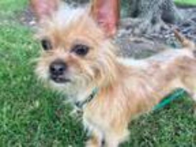 Adopt Clooney a Brussels Griffon