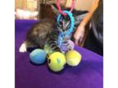 Adopt Slate a Gray or Blue Domestic Shorthair cat in League City, TX (25508263)