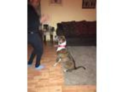 Adopt Finn a Brindle - with White American Staffordshire Terrier / Mixed dog in