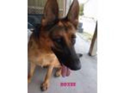 Adopt ROXEE a German Shepherd Dog
