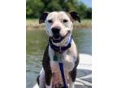 Adopt Coacoa a White American Pit Bull Terrier / Mixed dog in Philadelphia