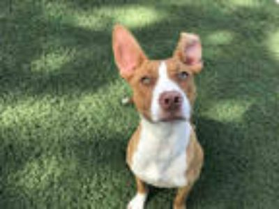 Adopt LILY a Tan/Yellow/Fawn - with White American Pit Bull Terrier / Mixed dog