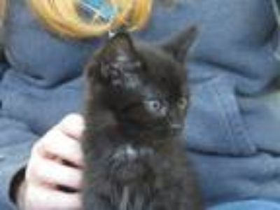 Adopt Isabel a Black (Mostly) Domestic Shorthair (short coat) cat in Unionville