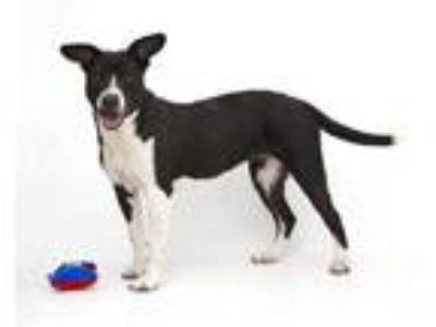 Adopt LILLIAN a Black - with White Border Collie / Mixed dog in Albuquerque