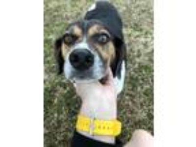 Adopt Stella a Black - with White Beagle / Mixed dog in Crouse, NC (24480047)