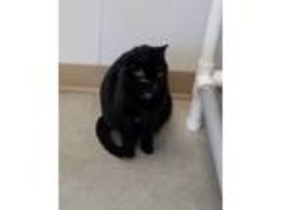 Adopt Acapella a Domestic Short Hair