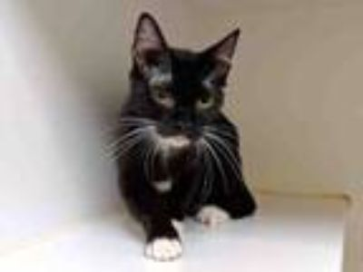 Adopt MASHA a Domestic Short Hair