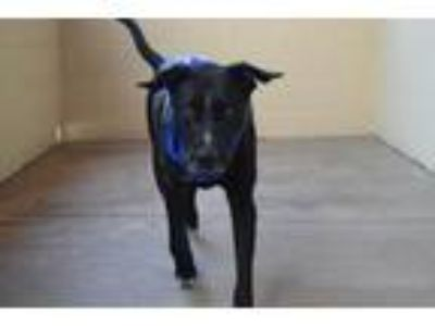 Adopt Shadow a Black - with White Labrador Retriever / Mixed dog in McKinney