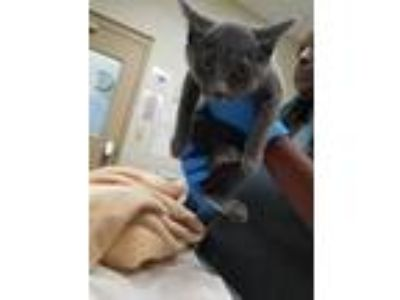 Adopt Montana a Gray or Blue Domestic Shorthair / Domestic Shorthair / Mixed cat
